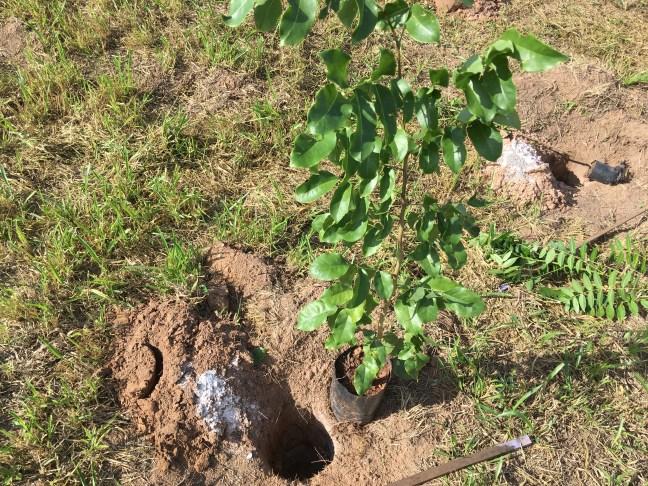 Foto mostra uma árvore que será plantada, ilustrando uma das perguntas frequentes
