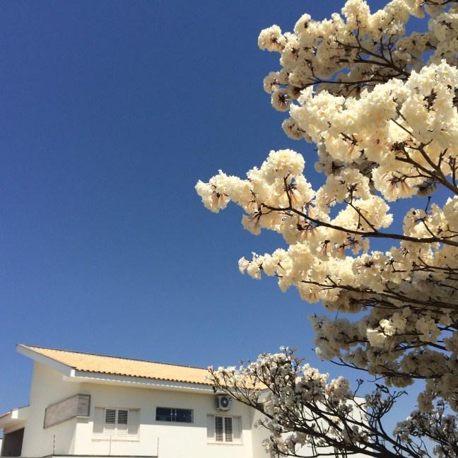 Foto mostra uma árvore de Ipê Branco, com uma casa ao fundo, exemplificando a importância da Ecologia Urbana