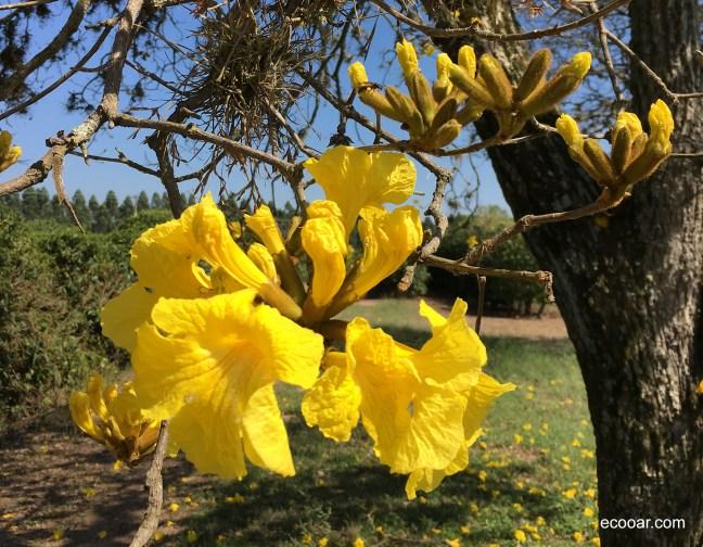 Foto mostra flor de Ipê amarelo com céu ao fundo