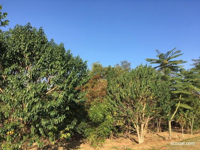 Foto mostra árvores em área de reflorestamento da Ecooar e céu azul