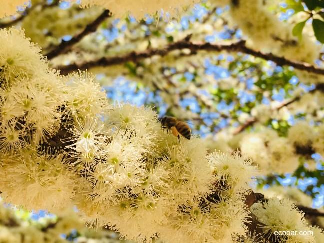 Foto mostra flores de jabuticaba e abelha em seu galho