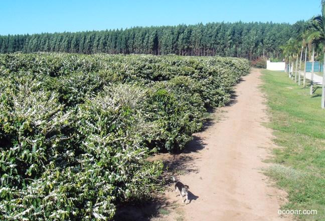 Foto mostra plantação de café e de eucalipto, destinado a produção de celulose