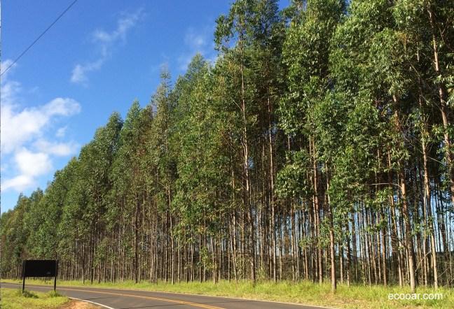 Foto mostra plantação de eucalipto destinado a produção de celulose
