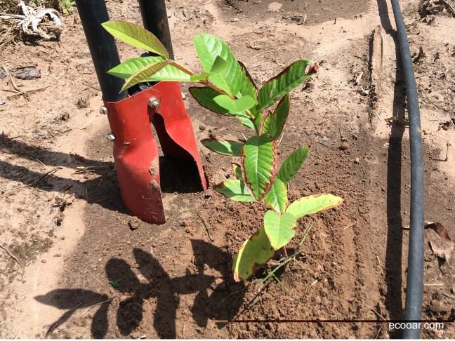 Foto mostra muda de goiabeira plantada e cavadeira na terra
