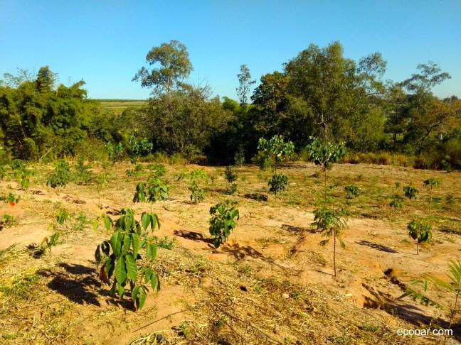 Foto mostra área de reflorestamento com árvores ainda pequenas
