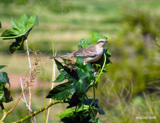 Foto mostra ave sabiá-do-campo em arbusto