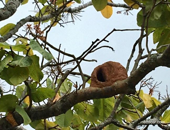Foto mostra casa da ave joão-de-barro em uma árvore