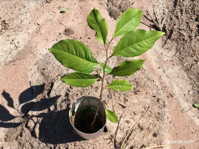 Foto mostra muda de árvores de Pau Terra já plantada