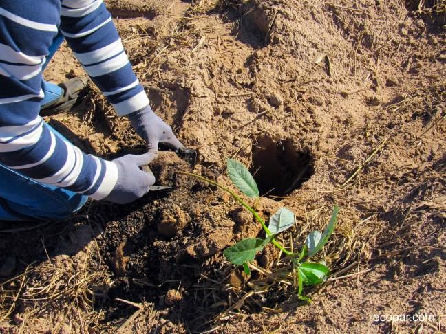 Foto mostra pessoa plantando uma muda de árvore nativa