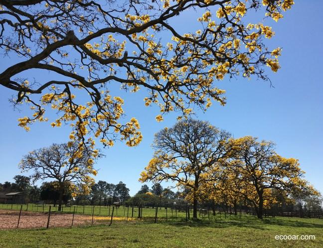Foto mostra árvores de Ipê amarelo