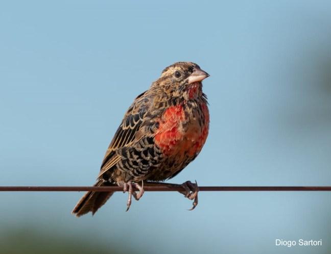 Foto mostra polícia-inglesa-do-sul, uma das aves que vivem nas matas brasileiras