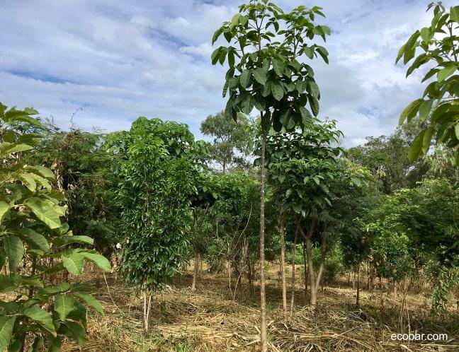 Foto mostra área de reflorestamento com várias árvores nativas