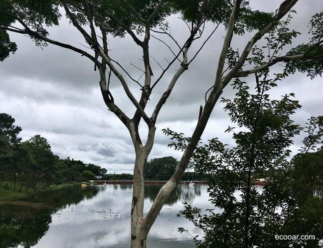 Foto mostra árvore Pau Ferro e lago ao fundo