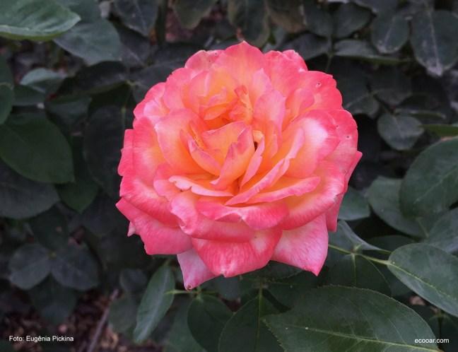 Foto mostra uma rosa bem próxima