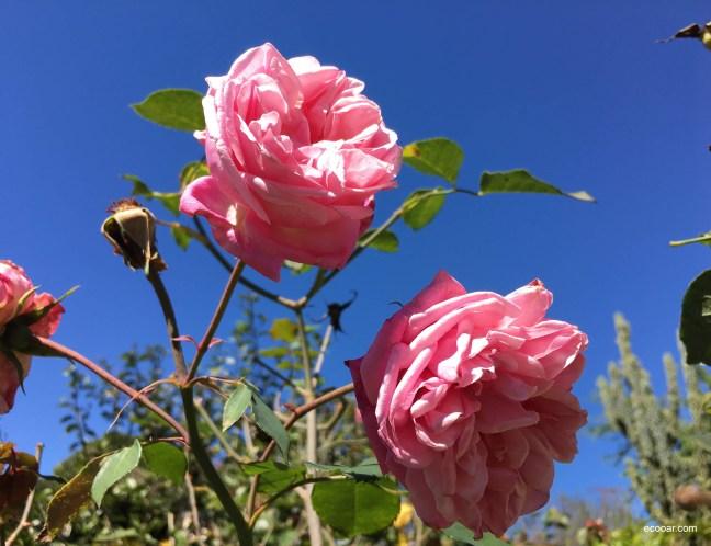 Foto contém duas rosas em destaque