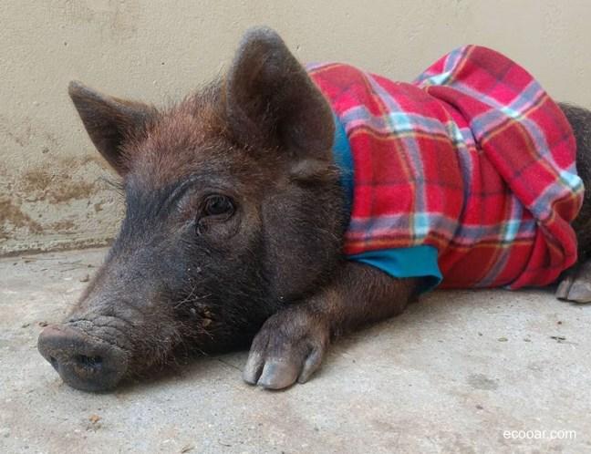 Foto mostra um porquinho vestindo uma roupa de frio no Recando da Querência