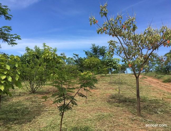 Foto mostra árvores nativas em uma área de reflorestamento