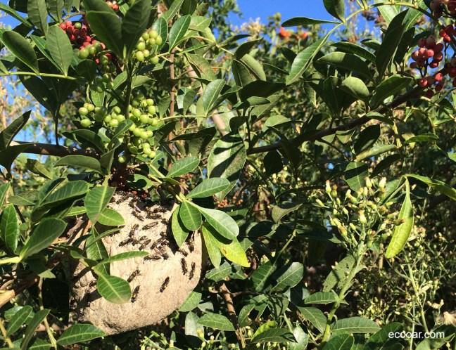 Foto mostra árvore com pequenos frutos vermelhos e marimbondos amarelos em sua casa