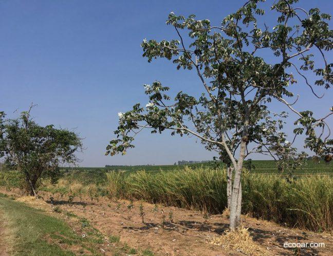 Foto mostra área de reflorestamento com destaque para Embaúba, uma das árvores nativas do Brasil