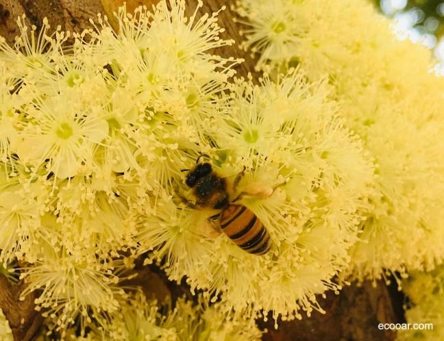 Foto mostra abelha em meio a flores da jaboticabeira