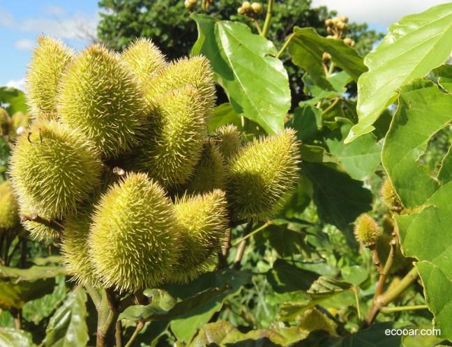 Foto mostra frutos espinhosos da árvore de Urucum