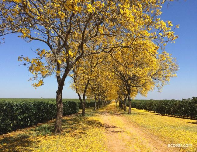 Foto mostra árvores de ipê amarelo lado a lado em uma estrada de terra