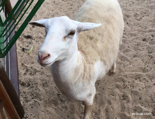 Foto mostra ovelha olhando para a câmera
