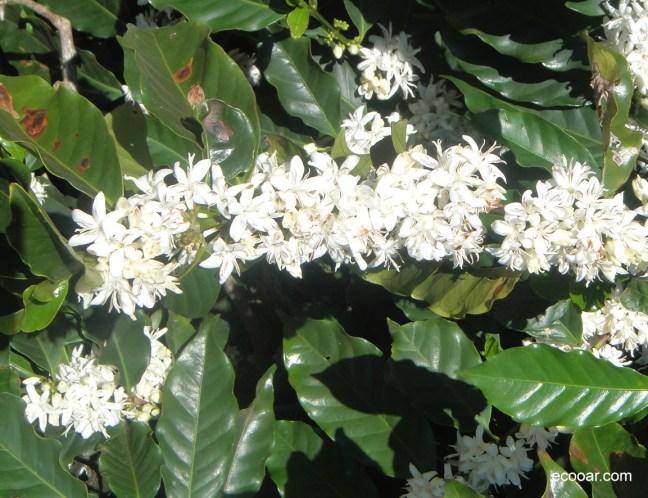 Foto mostra flor do café