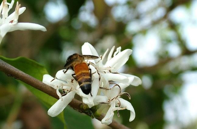 Foto mostra abelha em flor de café