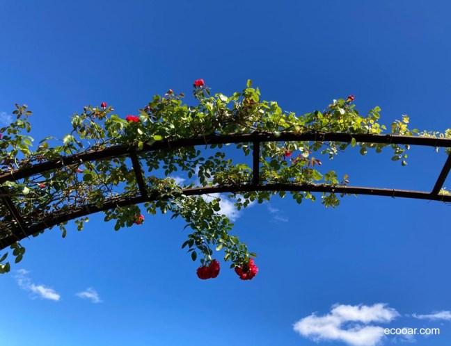 Foto mostra rosa em um arco de ferro, cultivada por um jardineiro
