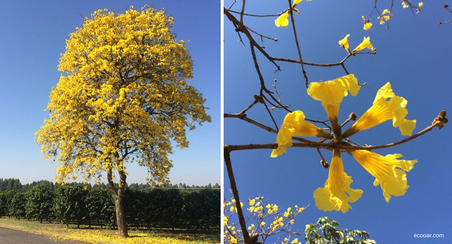 Foto mostra árvore e flores de Ipês amarelo