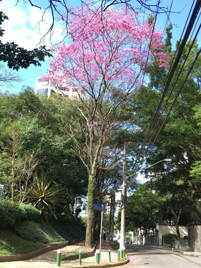 Foto mostra Ipê roxo em rua da cidade de São Paulo