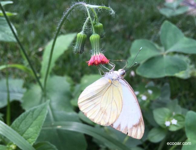 Foto mostra uma das borboletas brasileiras
