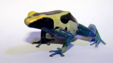 his poison dart frog is not new to science, or Suriname. However, in addition to this species (Dendrobates tinctorius) a recent expedition identified six new cousins. Photograph by Pogrebnoj-Alexandroff, courtesy Wikimedia. This file is licensed under the Creative Commons Attribution 3.0 Unported license.