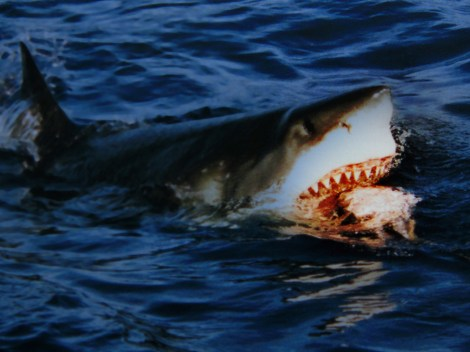 """Great white sharks are classified as having a """"vulnerable"""" conservation status. (This shark isn't nearly as vulnerable as the tuna it's eating.) They are normally an """"offshore"""" species and only occasionally swim into coastal areas. Photograph by Brocken Inaglory, courtesy Wikimedia. This file is licensed under theCreative CommonsAttribution-Share Alike 3.0 Unportedlicense."""