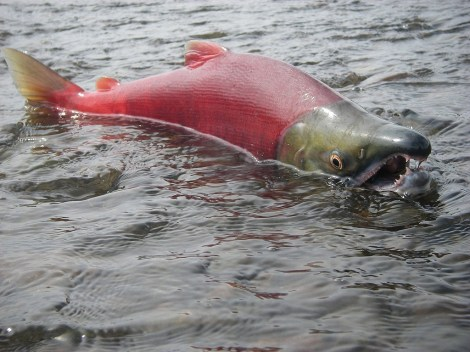 """""""Alaska's Choice: Salmon or Gold?"""" asked National Geographic magazine. The salmon seem to have (at least for the time being) won. Photo courtesy of Thomas Quinn, University of Washington, and the Environmental Protection Agency"""