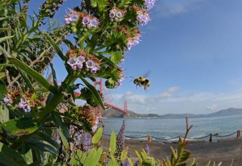 A bee pollinates some flowers with a perfect view of the Golden Gate Bridge. Photograph by Clay Bolt