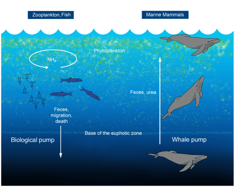 """A """"biological pump"""" is the ocean's mechanism for transferring carbon from the atmosphere into the deep sea. Whale poop, it turns out, is an important part of the pump. Illustration courtesy M. Raila, Joe Roman, James McCarthy, PLOS One"""