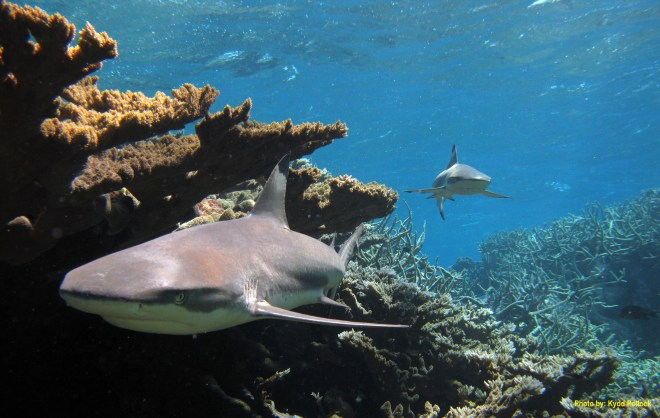 Blacktip sharks, like these cruising in Kingman Reef, are among the reserve's most visible apex predators. Photograph by Kydd Pollock, courtesy U.S. Fish and Wildlife Service.  This file is licensed under the Creative Commons Attribution 2.0 Generic license.