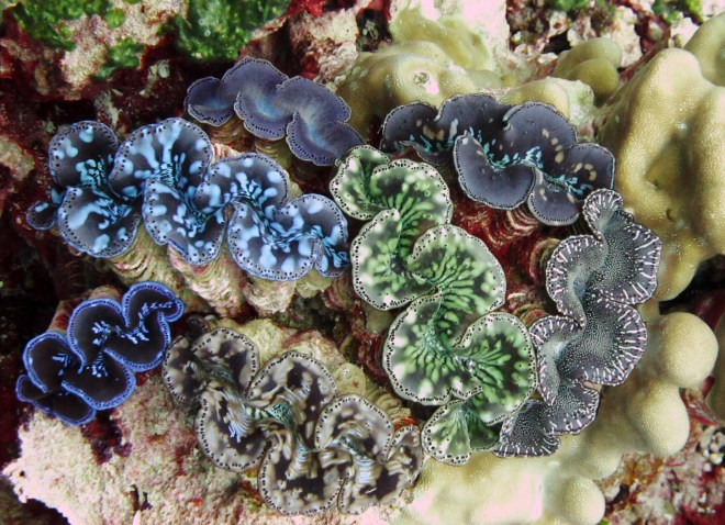 The Pacific Remote Islands Marine National Monument is home to a colorful variety of giant clams. Photograph by Amanda Pollock, courtesy U.S. Fish and Wildlife Service.  This file is licensed under the Creative Commons Attribution 2.0 Generic license.
