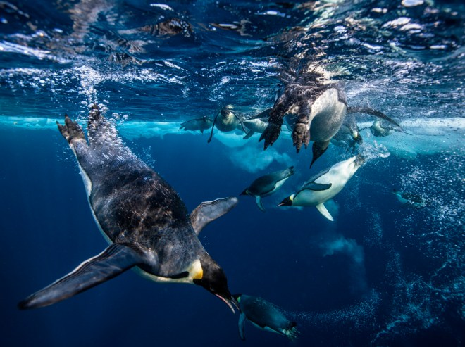 Penguins usually swim at the surface, which loads their plumage with air. Photograph by Paul Nicklen, National Geographic
