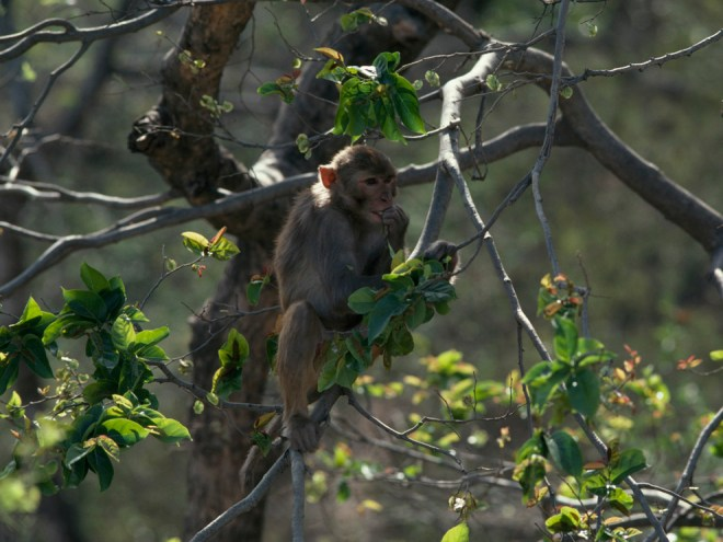 Rhesus macaques inhabit the mangroves from the sunny canopy to the watery roots. Photograph by George F. Mobley, National Geographic