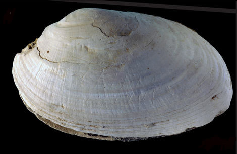 The geometric lines engraved into this gorgeous fossilized mussel shell may be the world's oldest piece of artwork yet discovered. Photograph by Wim Lustenhouwer