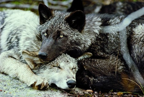 Photo of two wolves resting.