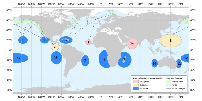 Part of the reason why so many humpback whales may no longer be classified as endangered is that the world population has been broken into 14 distinct groups. Read our article to follow the lines of this terrific NOAA map. Map courtesy NOAA
