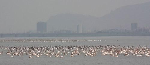 Flamingoes, Airoli Creek, Mumbai