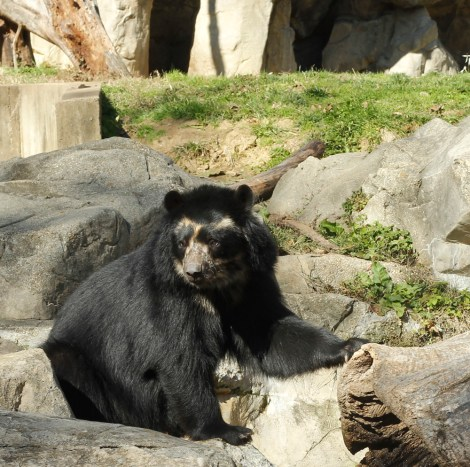 Some of the bear's Andean habitats are so remote and treacherous that scientists still do not have a comprehensive population count. This healthy specimen lives at the National Zoo in Washington, D.C. Photograph by Johnna Flahive