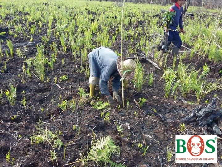Udplantning_dec2015_SOS-Borneo-08+logo_untenrechts
