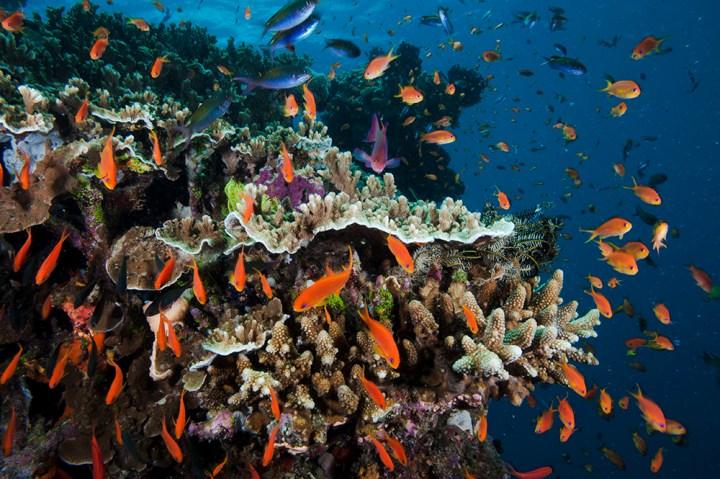 anthias on coral at Pixie Pinnacle on Great Barrier Reef Australia
