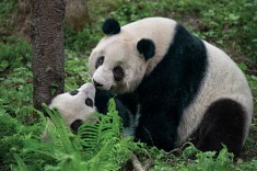 Panda cubs stay with their mothers for about two years. Photograph by Ami Vitale, National Geographic